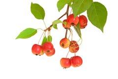 Zweig von den Paradiesäpfeln lokalisiert auf Weiß Lizenzfreies Stockbild
