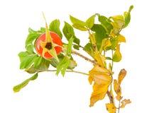 Zweig von einem japanischen stieg mit einer Rosehüfte stockbilder