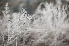 Zweig von getrockneten Anlagen im Frost Stockbilder