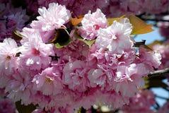 Zweig von Kirschblüte Lizenzfreies Stockbild