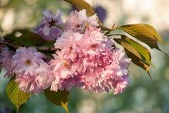 Zweig von Kirschblüte Stockfotos