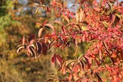 Zweige der allgemeinen Spindel im Herbst Stockfoto