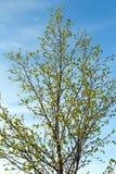 Zweige der Birke stockbilder