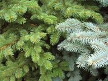 Zweige der blauen und grünen Tannenbäume, backgrou lizenzfreie stockbilder
