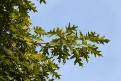 Zweige der Eiche Stockfotografie