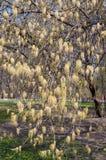 Zweige des Ahornholzes mit Sprössling Stockbilder