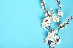 Zweige des Aprikosenbaums mit Blumen auf blauem Hintergrund Das Konzept des Frühlinges kam stockfotografie