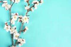 Zweige des Aprikosenbaums mit Blumen auf blauem Hintergrund Das Konzept des Frühlinges kam lizenzfreie stockfotos