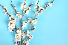 Zweige des Aprikosenbaums mit Blumen auf blauem Hintergrund Das Konzept des Frühlinges kam stockfoto