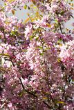 Zweige des blühenden Apfelbaums mit purpurroten Blumen des Krabbenrosas, Hintergrund stockfoto