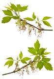 Zweige des blühenden Asche-leaved Ahornholzes Lizenzfreies Stockfoto