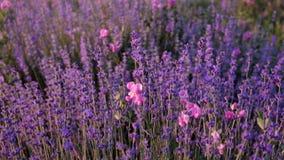 Zweige des blühenden Lavendels stock video footage