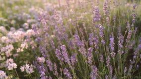 Zweige des blühenden Lavendels stock footage