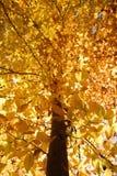 Zweige des gelben Falllaubs. stockbild