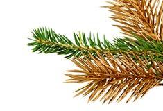 Zweige des Tannenbaums. Lizenzfreies Stockfoto