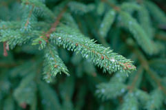 Zweige des Tannenbaums Stockbild