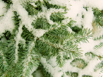 Zweige eines Baums ein Pelzbaum Lizenzfreies Stockfoto