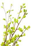 Zweige mit grünen Frühlingsblättern stockbild