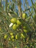 Zweige mit grünen Oliven Stockfotos