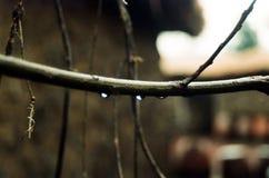 Zweige mit Regentropfen Lizenzfreie Stockbilder