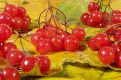 Zweige mit roten Schneeballbeeren Stockfotos
