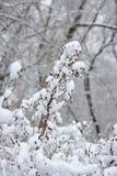 Zweige mit Schneeflocken Stockfoto