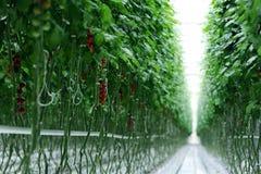Zweige mit Tomaten in einem Raum Stockbilder