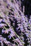 Zweige von blühenden Lavendelanlagen im Fokus gegen viele Anlagen in der selektiven Weichzeichnung alle gegen schwarz- großes für Stockbilder