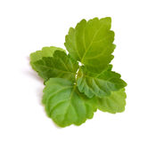 Zweigpatschulipflanze lokalisiert auf weißem Hintergrund Stockfotos