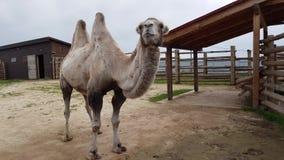 Zweihöckriges Kamel am Zoo stock video