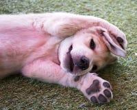 Zweimonatiges Labrador im Yard Lizenzfreies Stockfoto