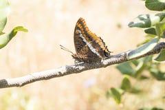 Zweischwänziges Pasha Butterfly- - Charaxes-jasius Stockfoto