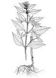 Zweispaltige botanische Illustration des Galeopsis Stockbild