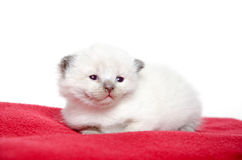 Zweiwöchiges altes Kätzchen auf roter Decke Lizenzfreies Stockfoto