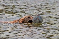 Zwem hond Royalty-vrije Stock Foto