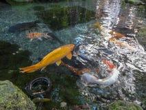Zwemmen Terughoudend in Vijver royalty-vrije stock afbeeldingen