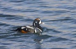 Zwemmend d'homme de Harlekijneend ; Natation masculine de canard de harlequin image libre de droits
