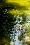 Zwemmend Koi Fish Royalty-vrije Stock Afbeelding