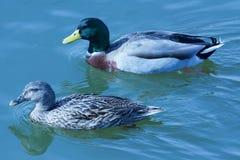 Zwemmend paar op het meer Royalty-vrije Stock Afbeelding
