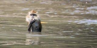 Zwemmende aap die de camera onderzoeken Stock Afbeeldingen