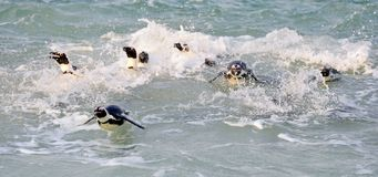 Zwemmende Afrikaanse pinguïnen Stock Afbeelding