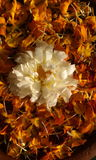 Zwemmende bloemen Royalty-vrije Stock Foto