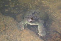 Zwemmende Brekende Schildpad Royalty-vrije Stock Fotografie
