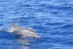 Zwemmende dolfijn Stock Foto's