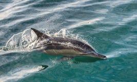 Zwemmende dolfijn in de oceaan en de jacht voor vissen Royalty-vrije Stock Foto's