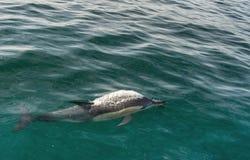 Zwemmende dolfijn in de oceaan en de jacht voor vissen Stock Fotografie