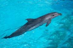 Zwemmende Dolfijn in het Blauwe Water Stock Fotografie