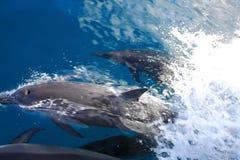 Zwemmende Dolfijnen Stock Fotografie