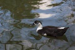 Zwemmende eend Royalty-vrije Stock Afbeelding