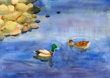 Zwemmende eenden Royalty-vrije Stock Afbeeldingen